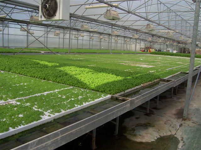 Serre dove si coltiva il basilico con il calore della centrale di cogenerazione